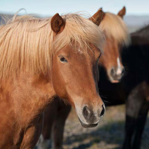 Animaux answer: CHEVAL