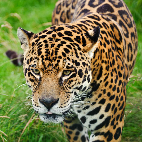 Animaux answer: JAGUAR