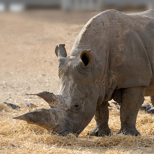 Animaux answer: RHINOCÉROS