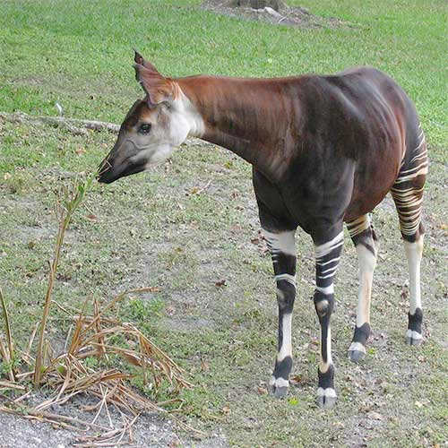 Animaux answer: OKAPI