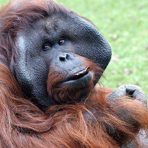 Animaux answer: ORANG-OUTAN