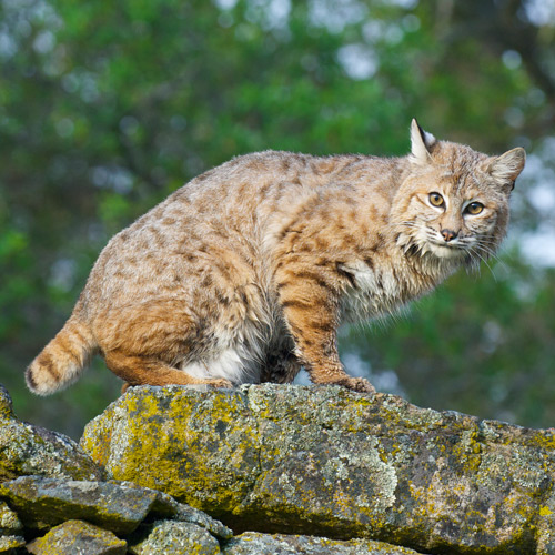 Animaux answer: LYNX ROUX