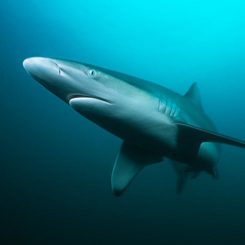 Animaux answer: REQUIN