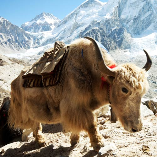 Animaux answer: YAK