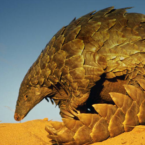 Animaux answer: PANGOLIN