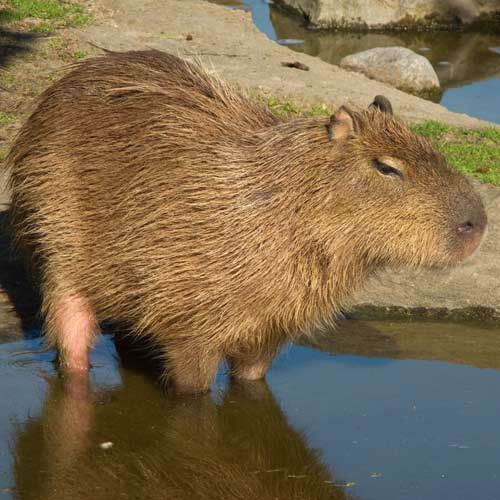 Animaux answer: CAPYBARA