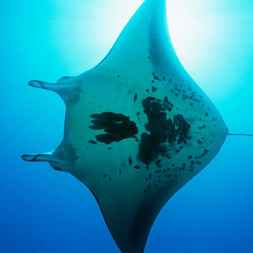 Animaux answer: RAIE MANTA