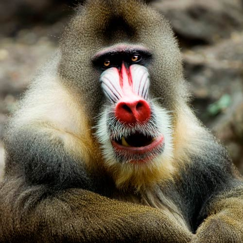 Animaux answer: MANDRILL