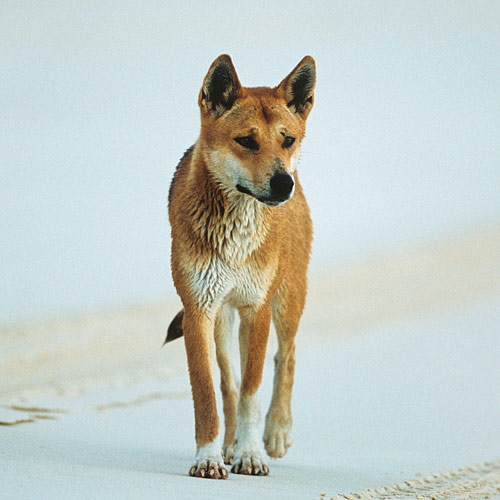 Animaux answer: DINGO