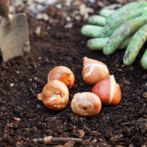 Autumn answer: BULBS