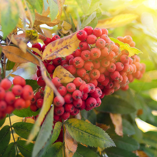 Autumn answer: ROWAN