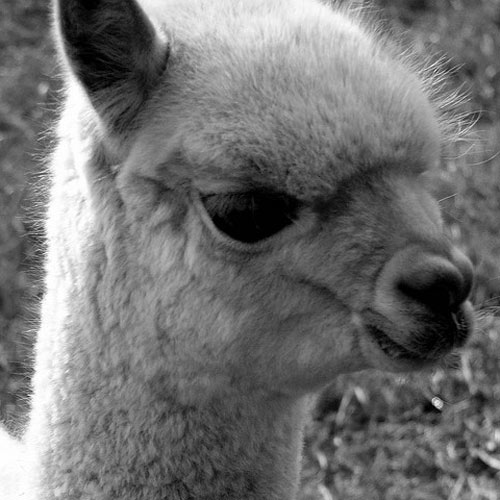 Baby Animals answer: ALPACA