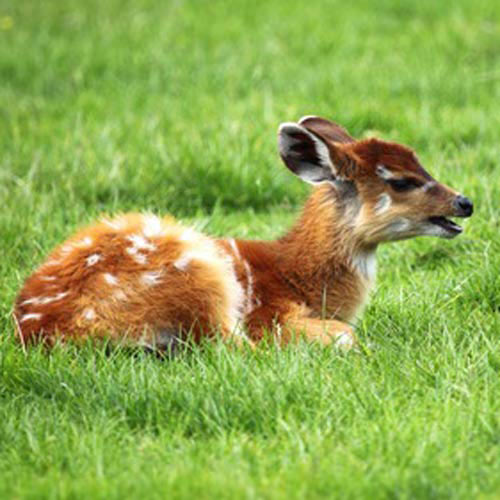 Baby Animals answer: ANTELOPE