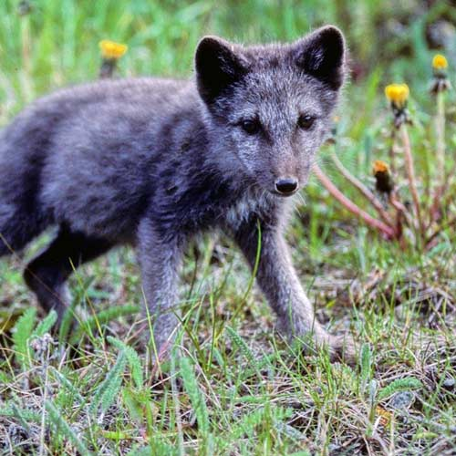 Baby Animals answer: ARCTIC FOX