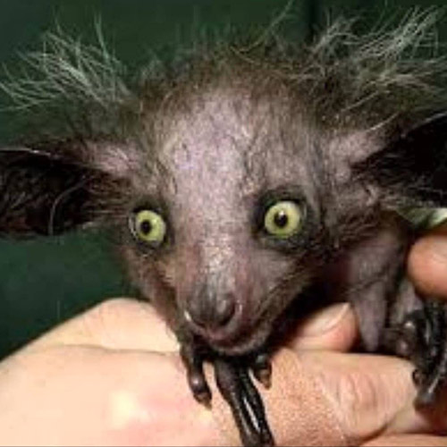 Baby Animals answer: AYE-AYE