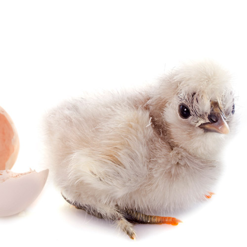 Baby Animals answer: CHICKEN