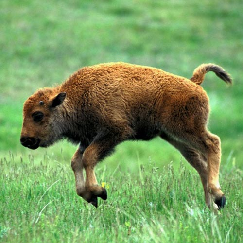 Baby Animals answer: BISON