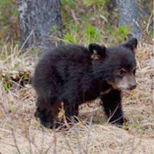 Baby Animals answer: BLACK BEAR
