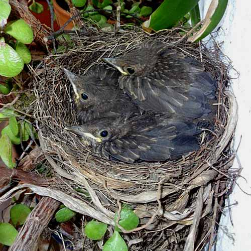 Baby Animals answer: BLACKBIRDS