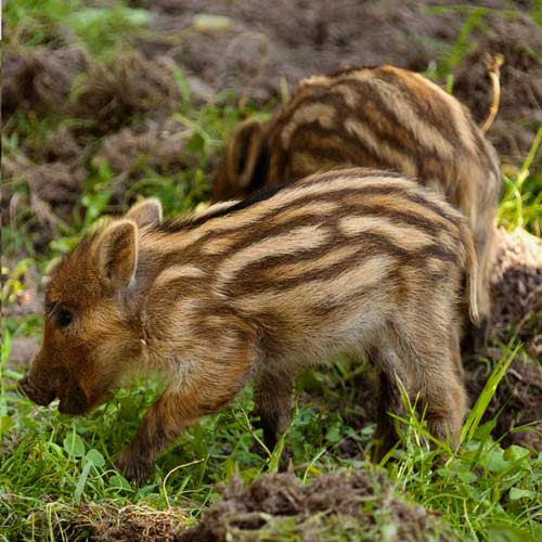 Baby Animals answer: BOAR