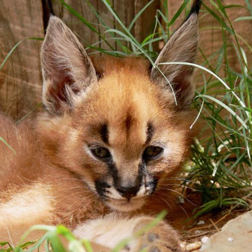 Baby Animals answer: CARACAL
