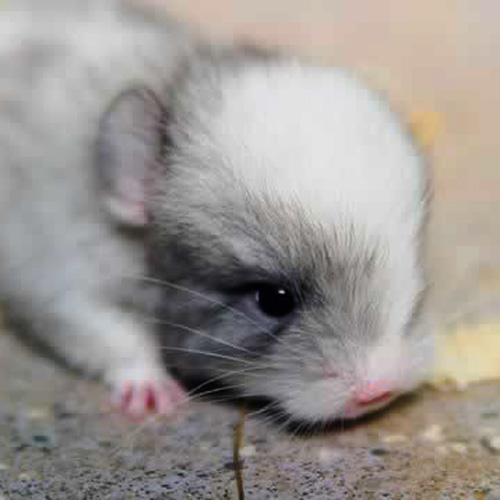 Baby Animals answer: CHINCHILLA
