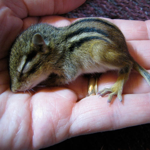 Baby Animals answer: CHIPMUNK