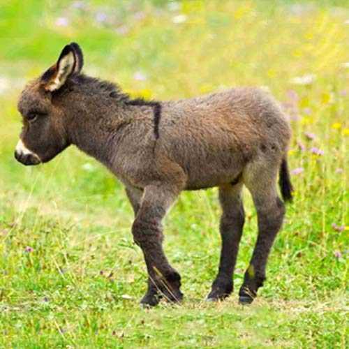 Baby Animals answer: DONKEY