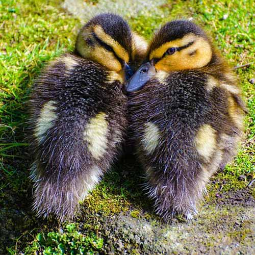 Baby Animals answer: DUCKS