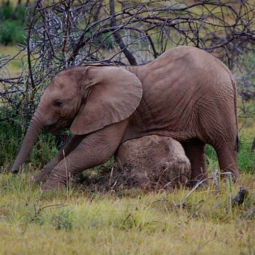 Baby Animals answer: ELEPHANT