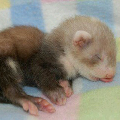 Baby Animals answer: FERRET