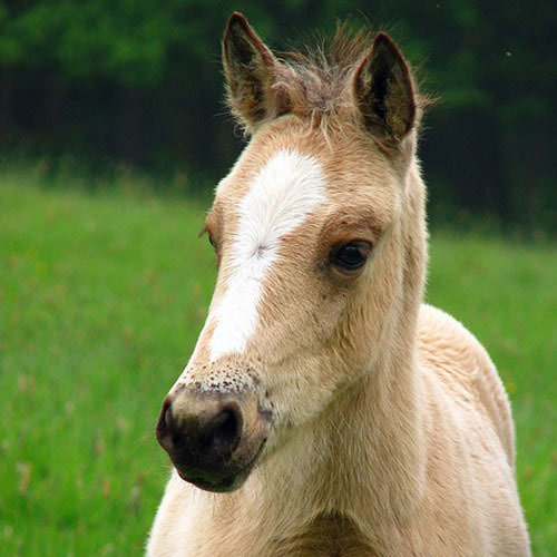 Baby Animals answer: HORSE