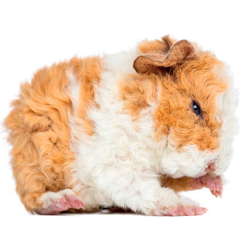 Baby Animals answer: GUINEA PIG