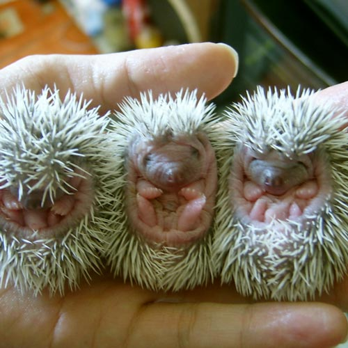 Baby Animals answer: HEDGEHOGS