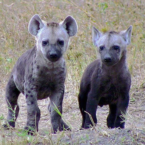 Baby Animals answer: HYENAS