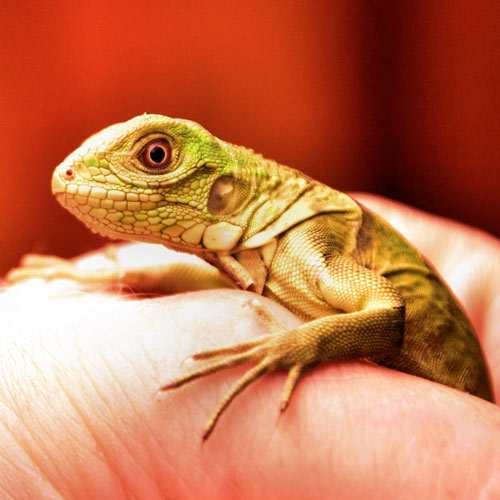 Baby Animals answer: IGUANA
