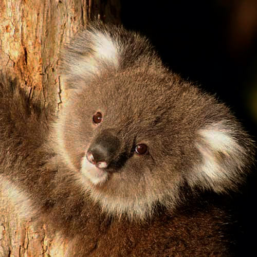 Baby Animals answer: KOALA