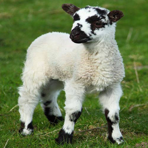 Baby Animals answer: SHEEP
