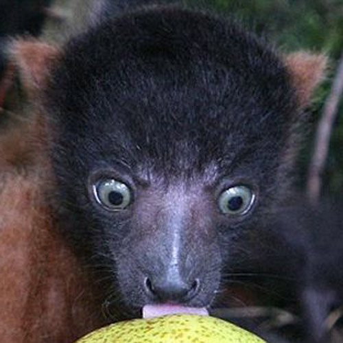 Baby Animals answer: LEMUR