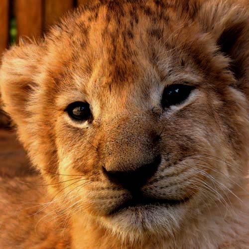Baby Animals answer: LION