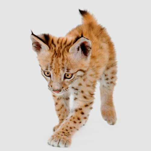 Baby Animals answer: LYNX