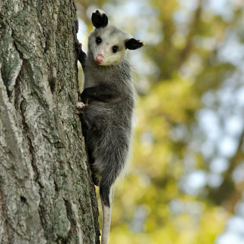 Baby Animals answer: POSSUM
