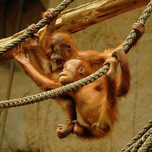 Baby Animals answer: ORANGUTAN