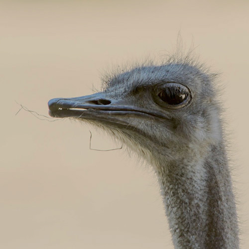 Baby Animals answer: OSTRICH