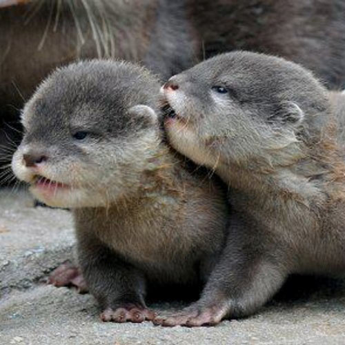 Baby Animals answer: OTTERS