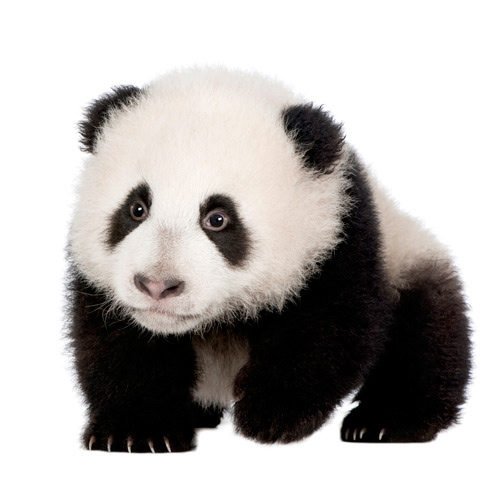 Baby Animals answer: PANDA