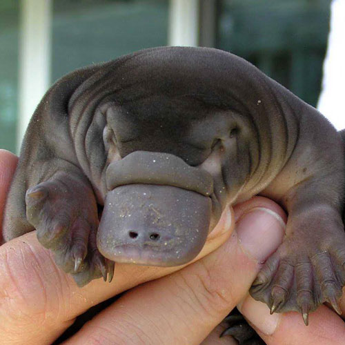 Baby Animals answer: PLATYPUS