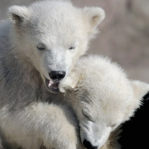 Baby Animals answer: POLAR BEARS