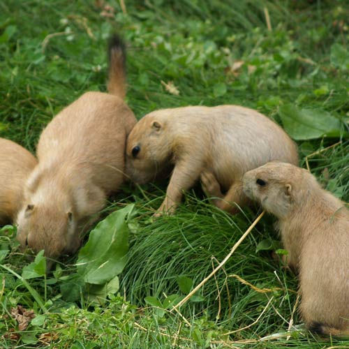 Baby Animals answer: PRAIRIE DOGS