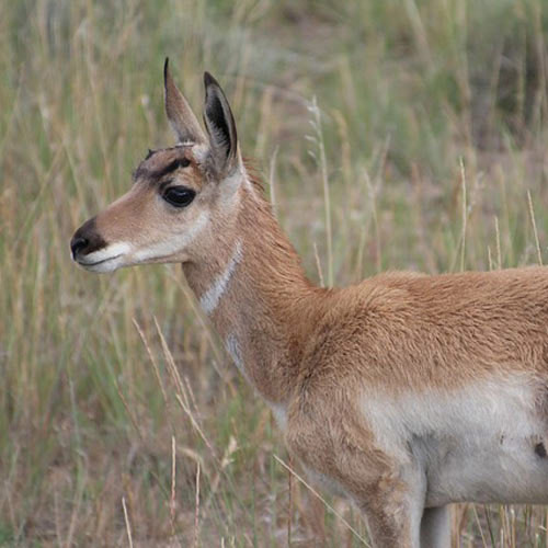 Baby Animals answer: PRONGHORN